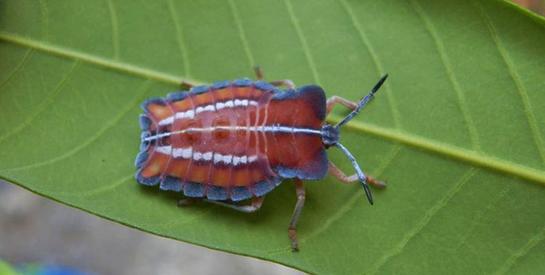 蟲蟲危機:本署防治荔枝椿象及登革熱疫情作為